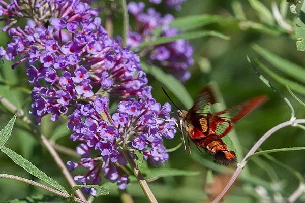 _43G6942 pond hummingbird moth v2