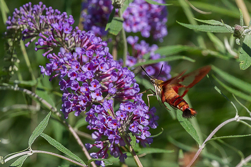 _43G6943 pond hummingbird moth v2