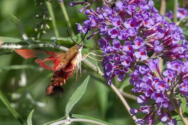 _43G6949 pond hummingbird moth v4