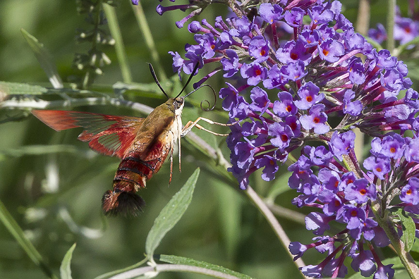 _43G6949 pond hummingbird moth v4