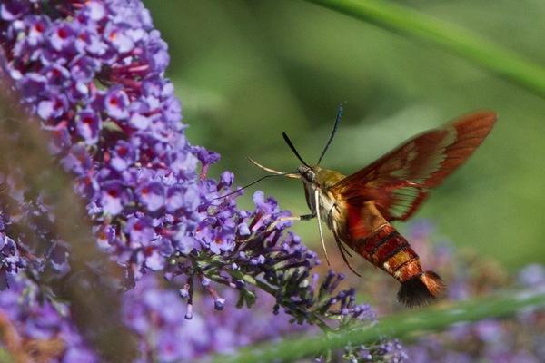 _43G6956 pond hummingbird moth v2