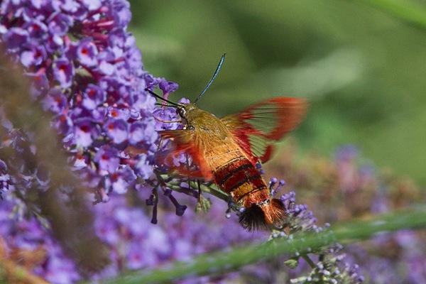 _43G6958 pond hummingbird moth v3 port