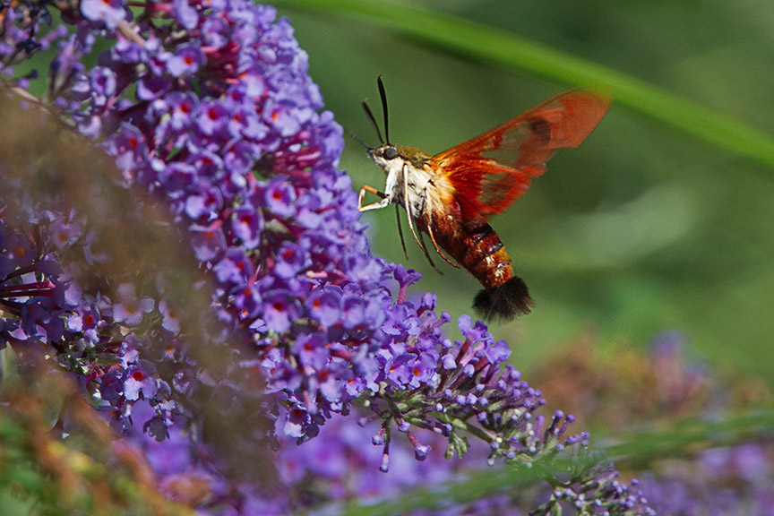 _43G6961 pond hummingbird moth v1