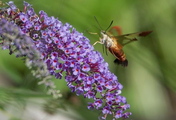 _43G6998 pond hummingbird moth v2