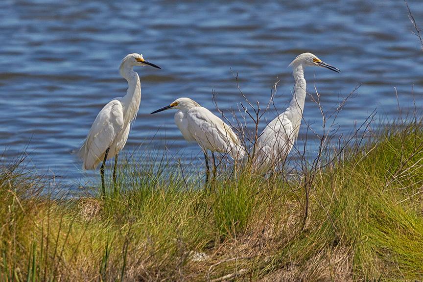 _43G7077  brig snowy egrets v2 nk