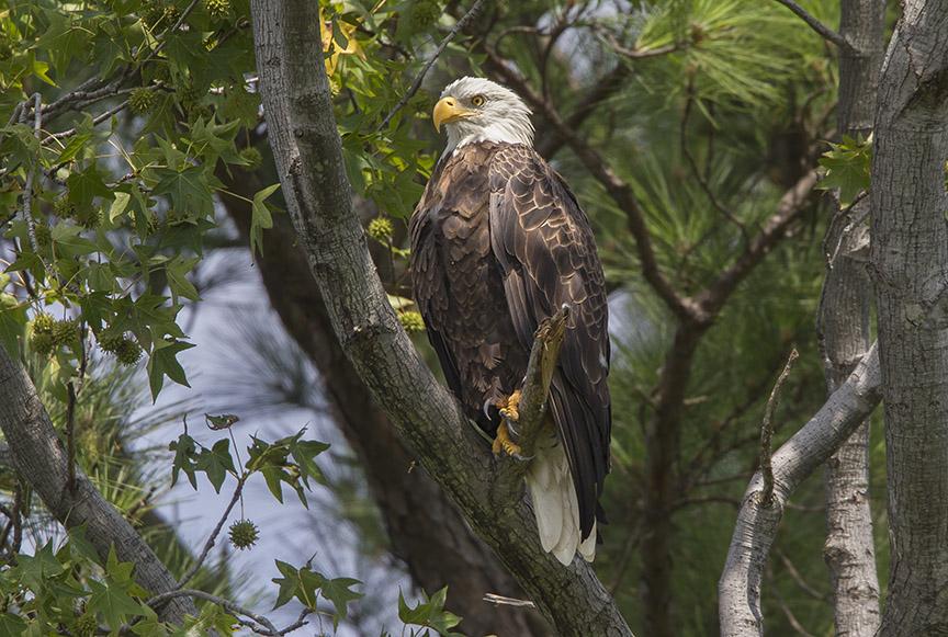 _43G9140 bwr Eagle v5