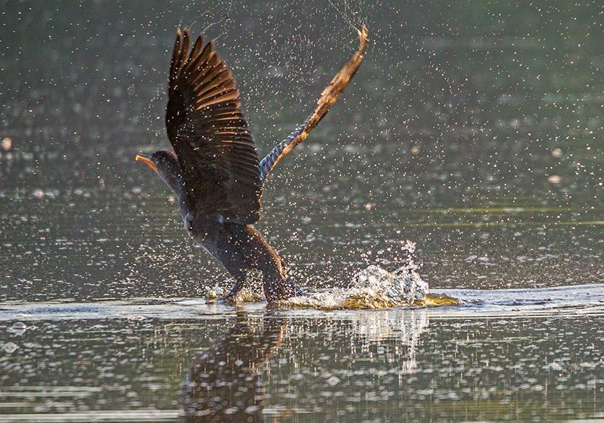 _43G9697 cf cormorant v3
