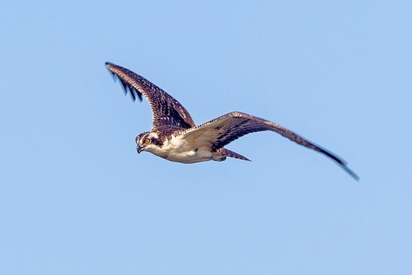 _43G0028 cf osprey v2