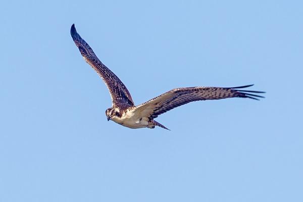 _43G0031 cf osprey v1a