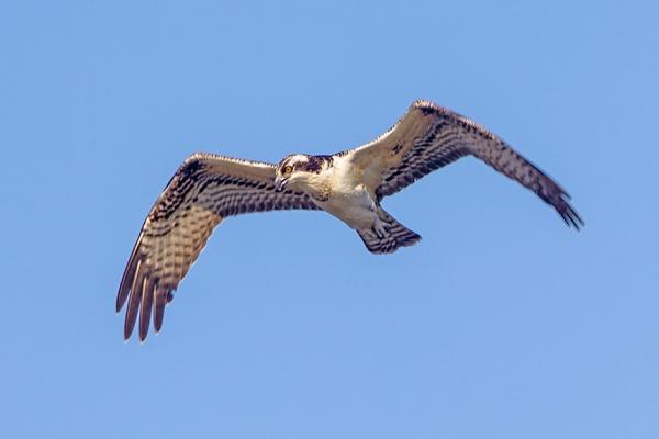 _43G0040 cf osprey v2