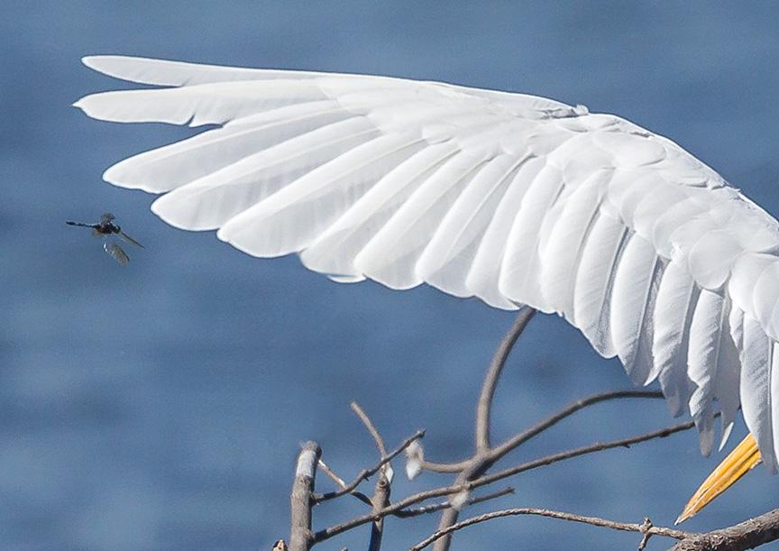 _43G1083 great egret wings & wings v4