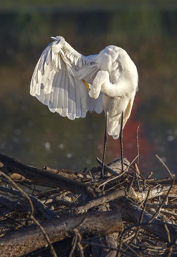 _43G7193 CF Great Egret v8
