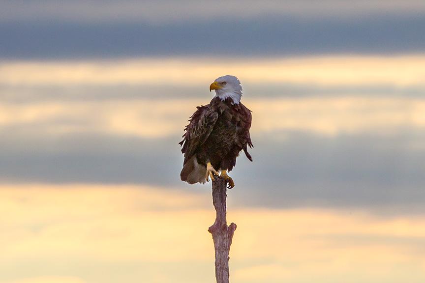 _43G0309 bwr eagle v3