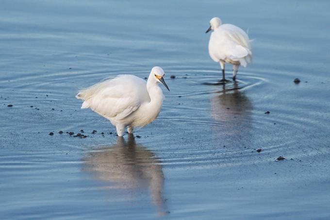 _43G3908 Brig Snowy Egret v2