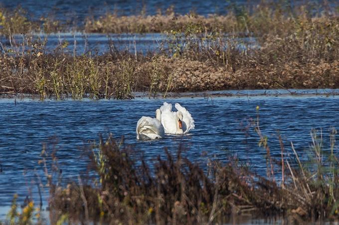 _43G5118 brig swans v2