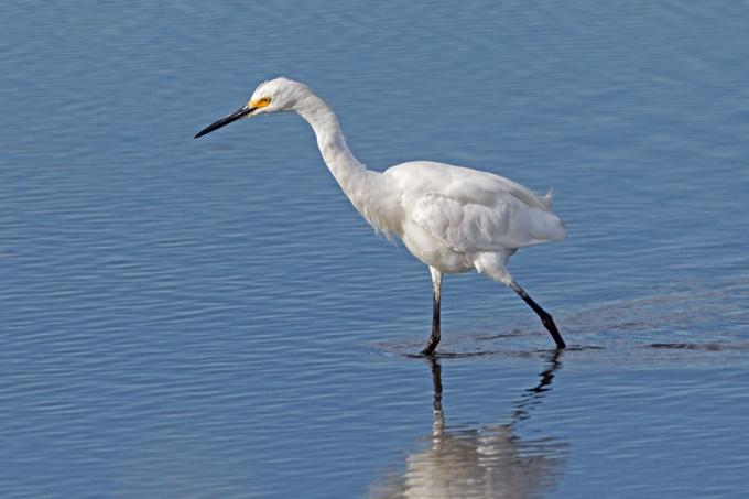 _43G5732 brig snowy egret v3