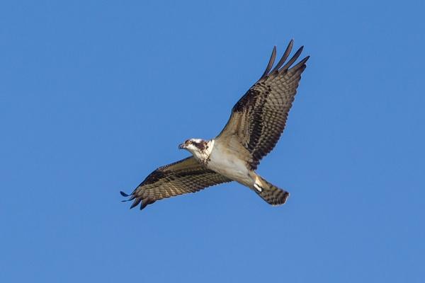 _43G8340 cf osprey v3