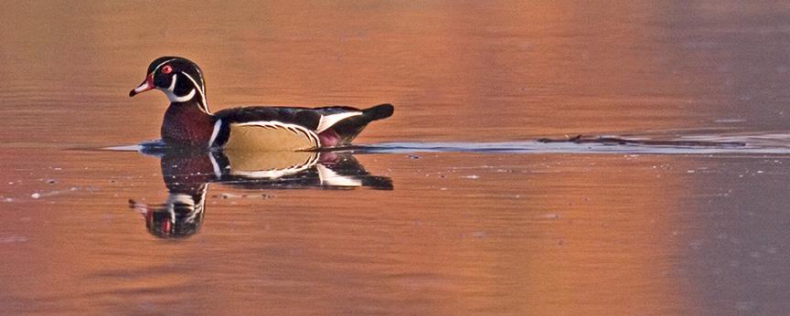 cf wood duck v2_MG_8741a