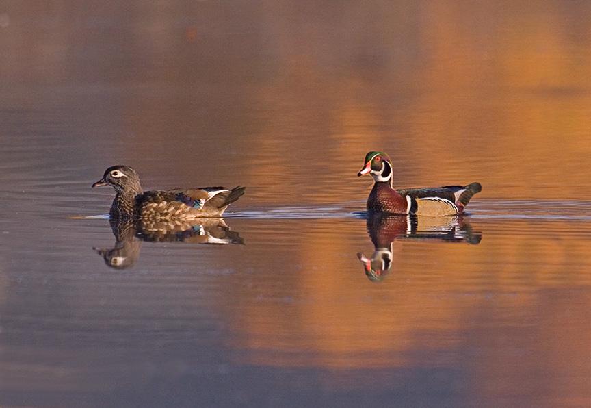cf wood ducks v3_MG_8762