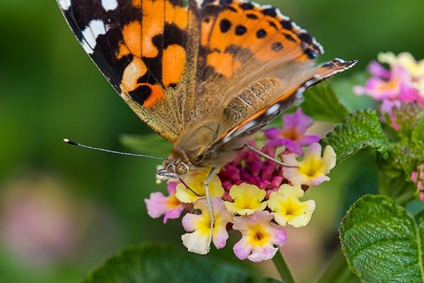 lg butterfly v3_43G4468