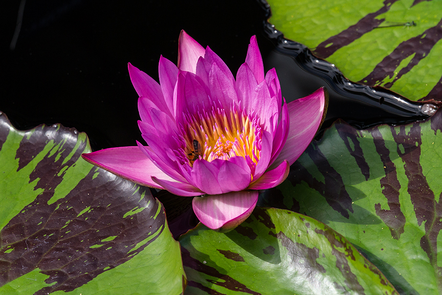 lg water lily v2_43G4878