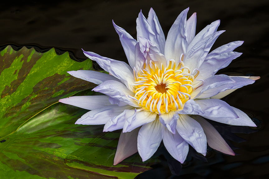 LG Water lily v2_43G4911