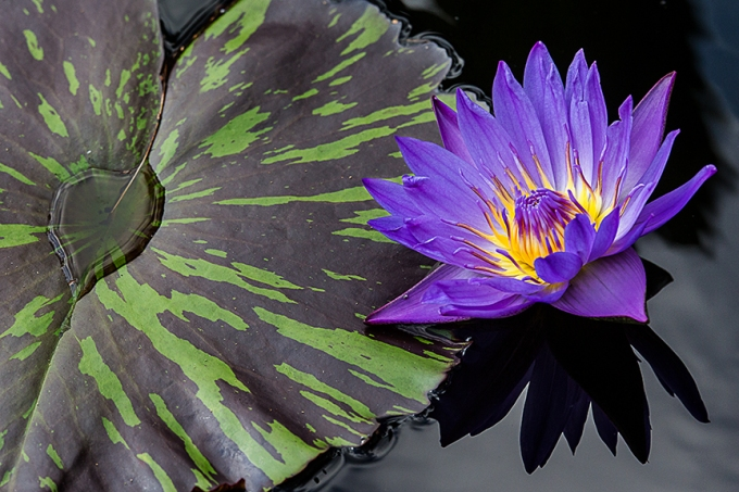 lg water lily v2_hp 43G4977