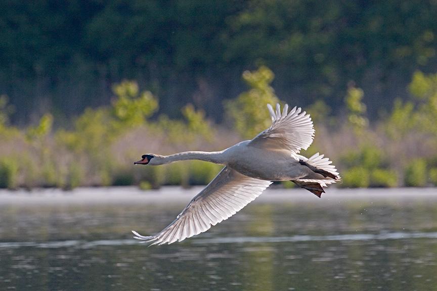 mute swan flying cf_MG_1575