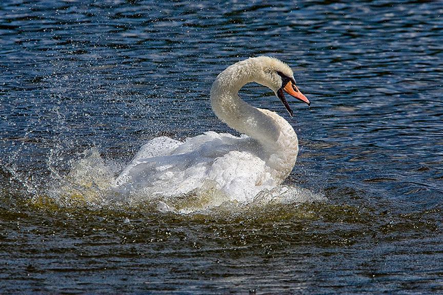 Mute_Swan_v1_cf_80I3338