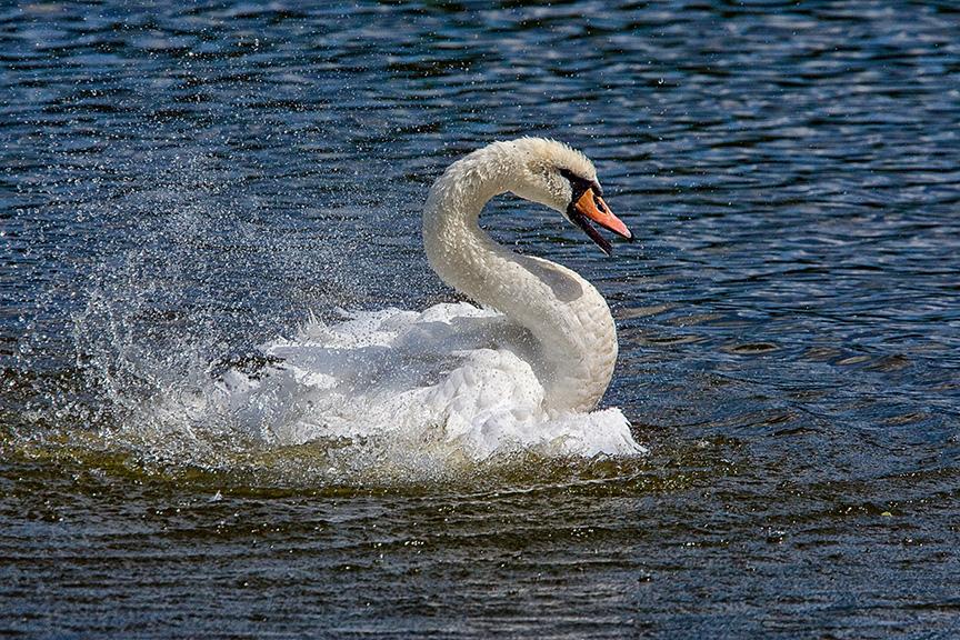Mute_Swan_v1_cf_80I3339