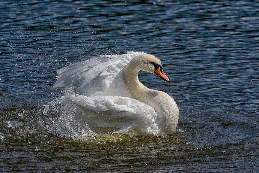 Mute_Swan_v1_cf_80I3344