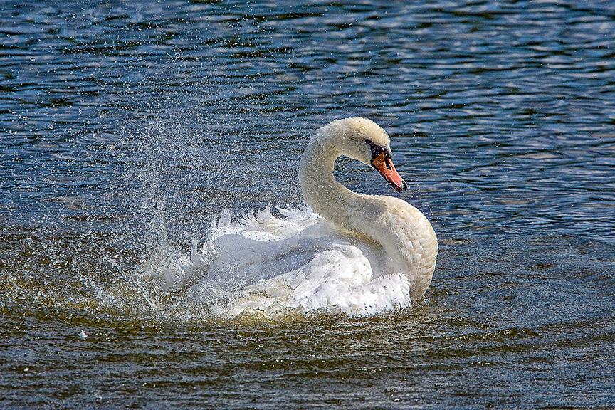 Mute_Swan_v1_cf_80I3345 v2