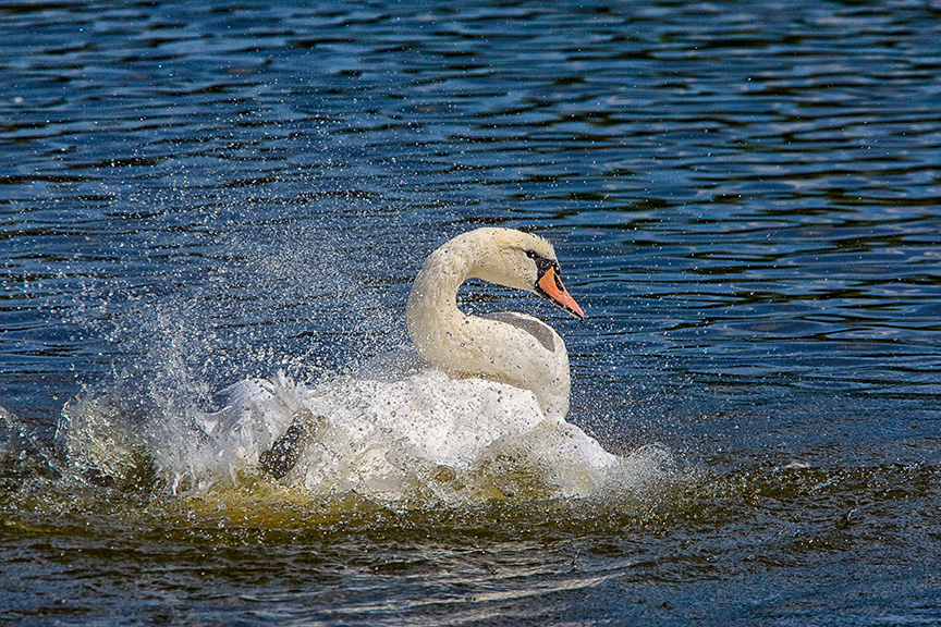Mute_Swan_v1_cf_80I3347