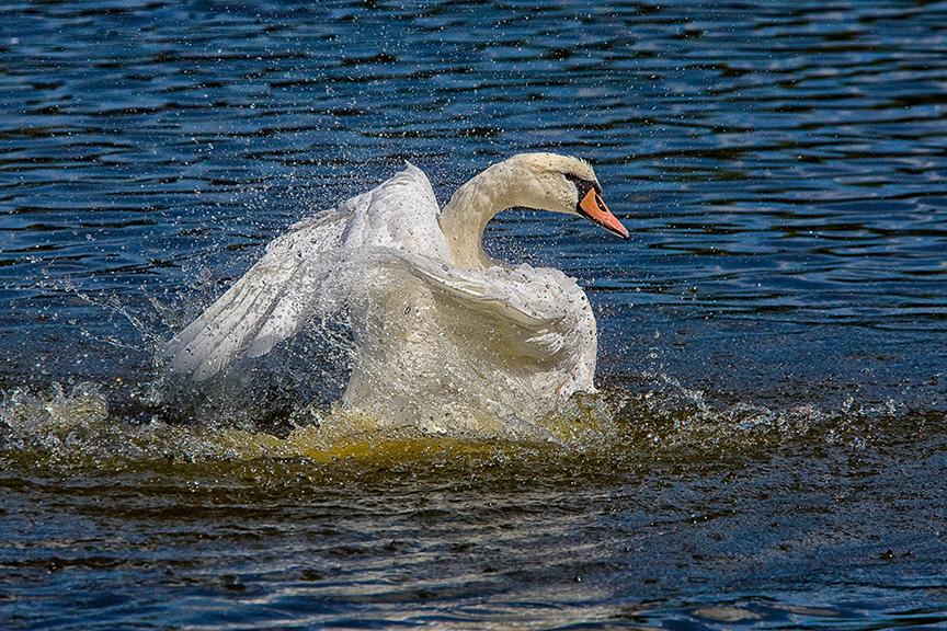 Mute_Swan_v1_cf_80I3349
