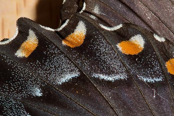 butterfly cu v1