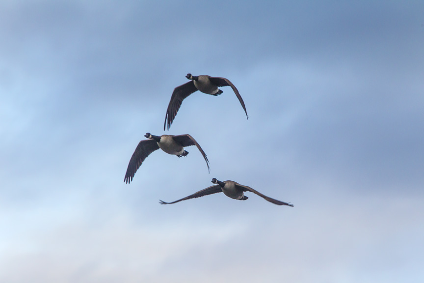 Can Geese CF v3_43G0162