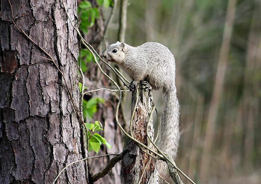 delmarva fox squirrel v2