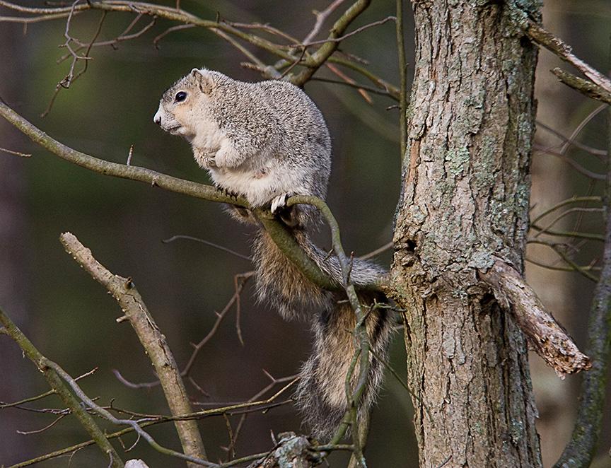 Delmarva Fox squirrel_80I1989A
