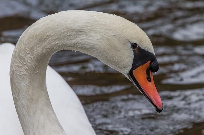 Mute Swan CU McFaul_43G1115