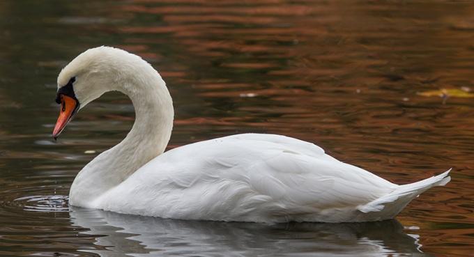Mute Swan McFaul_43G1279 v1