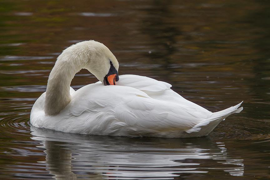 Mute Swans McFaul_43G1312