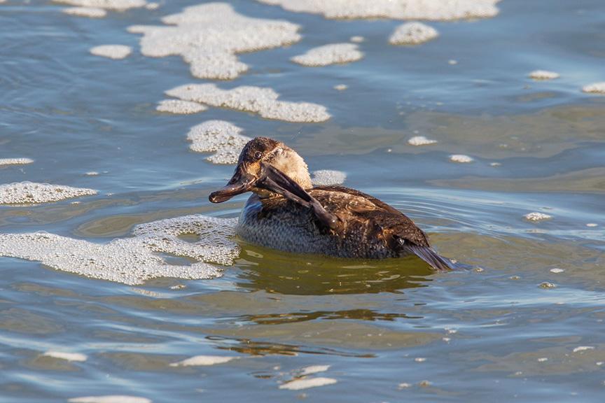 rudy duck brig v1_43G4755