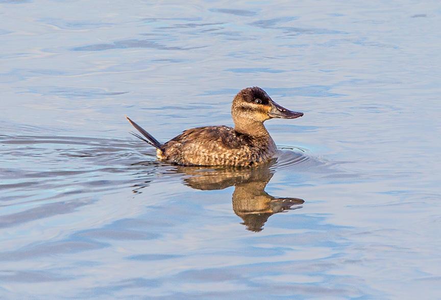 rudy duck v2_43G4120