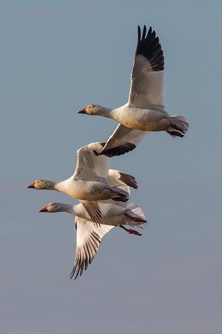 snow geese brig v1_43G4195