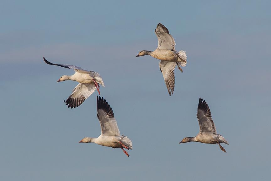 snow geese brig v2_43G4078