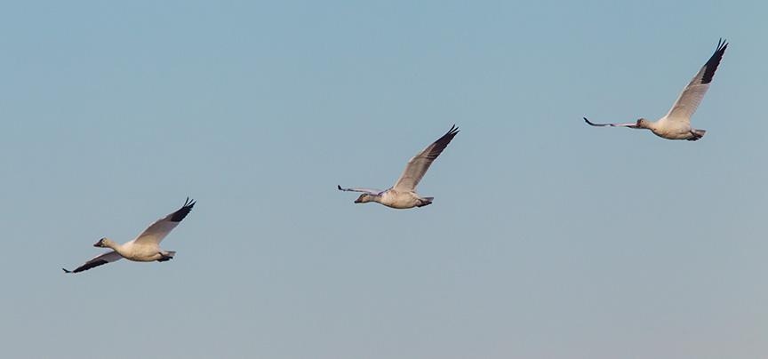 snow geese brig v2_43G4144