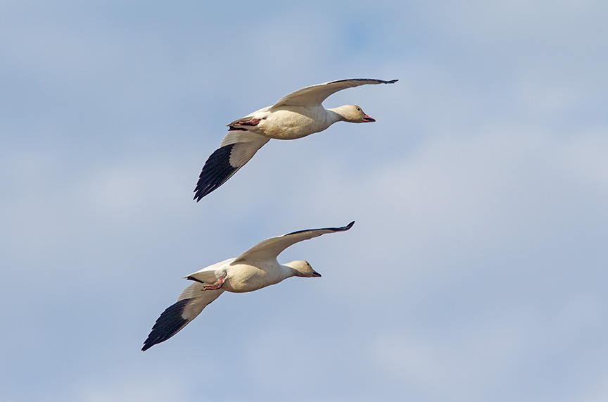 snow geese brig v2_43G4174