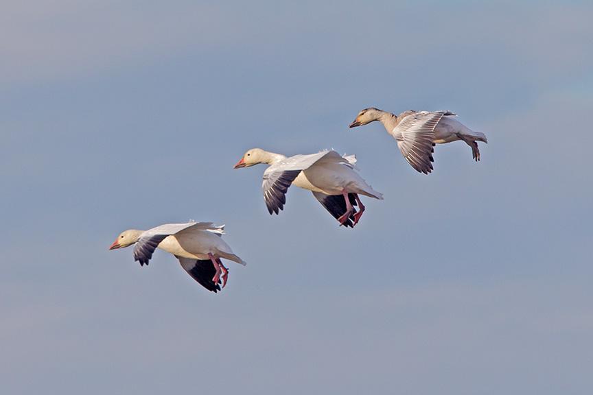 snow geese brig v4_43G3964