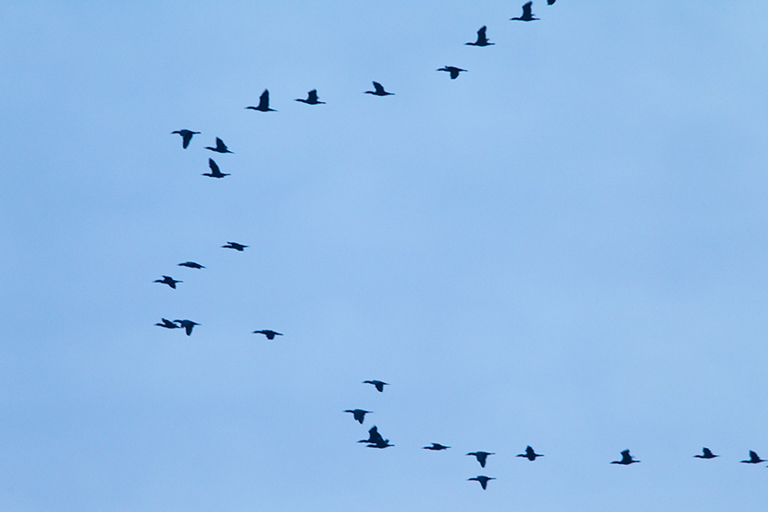 brig am flyout cormorants v1_43G7646
