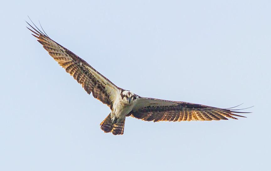 cf osprey v1_MG_5179